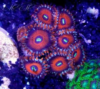 2015 03 coralli, molli, zoanthus bowser 02