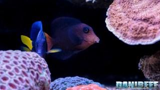 2015_12 Ctenochaetus hawaiiensis Acquario Marino Giuseppe Baldi 01