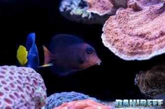 2015_12 Ctenochaetus hawaiiensis Acquario Marino Giuseppe Baldi 03