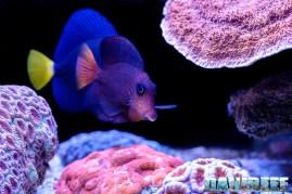 2015_12 Ctenochaetus hawaiiensis Acquario Marino Giuseppe Baldi 05