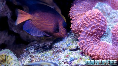 2015_12 Ctenochaetus hawaiiensis Acquario Marino Giuseppe Baldi 09