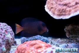 2015_12 Ctenochaetus hawaiiensis Acquario Marino Giuseppe Baldi 11