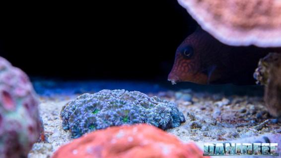 2015_12 Ctenochaetus hawaiiensis Acquario Marino Giuseppe Baldi 13