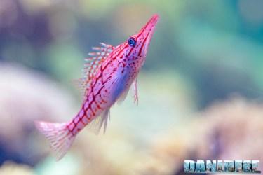 2015_12 Oxycirrhites typus at Madagascar Reef Aquarium at Zoo Zurich08