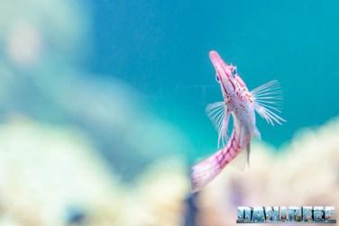 2015_12 Oxycirrhites typus at Madagascar Reef Aquarium at Zoo Zurich10