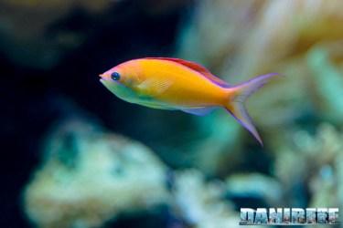 2015_12 Pseudanthias at Madagascar Reef Aquarium at Zoo Zurich11
