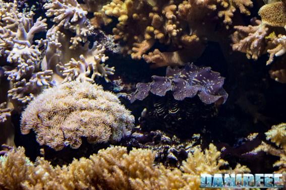 2015_12 Tridacna at Madagascar Reef Aquarium at Zoo Zurich47