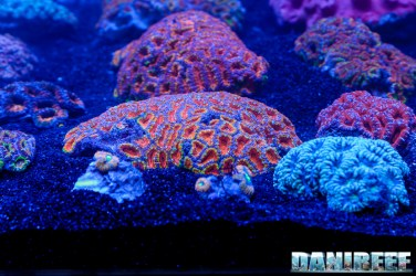 201610-acanthastrea-barriera-corallina-coralli-lps-micromussa-petsfestival-131-copyright-by-danireef