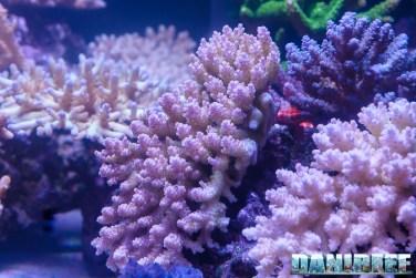 201610-acropora-barriera-corallina-coralli-petsfestival-sps-137-copyright-by-danireef