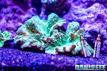 201610-aqamai-coralli-hydor-molli-petsfestival-sinularia-81-copyright-by-danireef