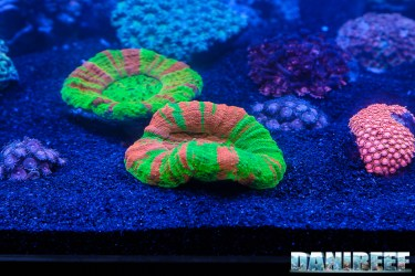201610-barriera-corallina-coralli-lobophyllia-lps-petsfestival-133-copyright-by-danireef