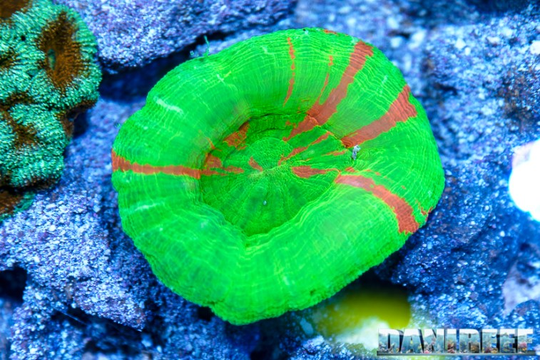 201610-coralli-hobby-acquari-lps-petsfestival-reefline-scolymia-45-copyright-by-danireef