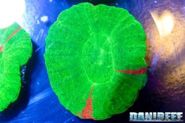 201610-coralli-lps-petsfestival-reef-joker-scolymia-59-copyright-by-danireef