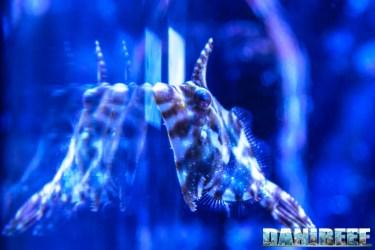 201701 acreichthys tomentosus, animali, pesci 43 Copyright by DaniReef