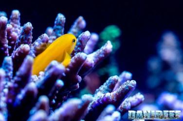201701 acropora, animali, coralli sps, gobiodon okinawe, pesci 81 Copyright by DaniReef