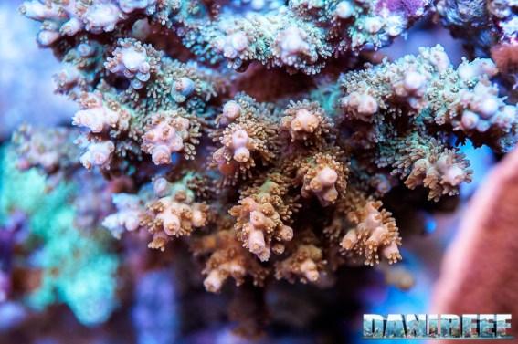 201701 acropora, animali, coralli sps, macro 128 Copyright by DaniReef