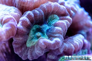 201701 animali, caulastrea furcata, coralli lps, macro 54 Copyright by DaniReef
