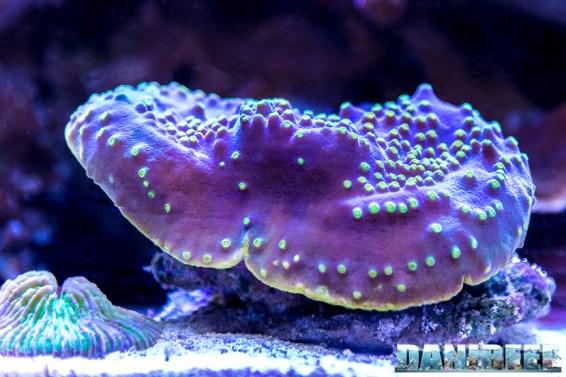 201701 animali, coralli lps 35 Copyright by DaniReef