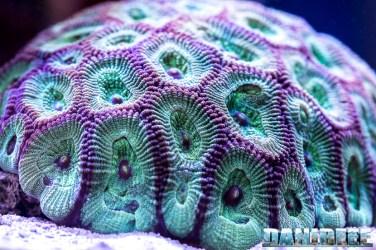 201701 animali, coralli lps, Favites chinensis, macro 56 Copyright by DaniReef