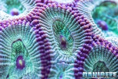 201701 animali, coralli lps, Favites chinensis, macro 58 Copyright by DaniReef