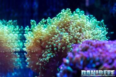 201701 animali, coralli lps, euphyllia 41 Copyright by DaniReef