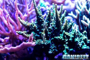 201701 animali, coralli sps 32 Copyright by DaniReef