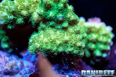 201701 animali, coralli sps, macro 142 Copyright by DaniReef