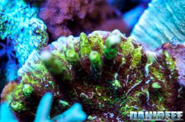 201701 animali, coralli sps, macro, montipora confusa 127 Copyright by DaniReef