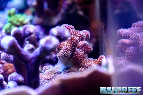 201701 animali, coralli sps, macro, stylophora pistillata 97 Copyright by DaniReef