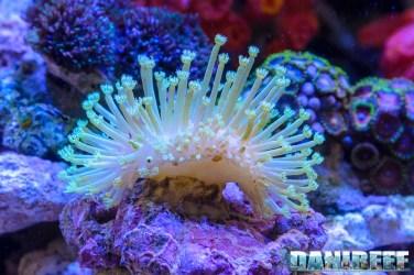 201705 Coralli, coralli molli, mantovani pet diffusion, molle, sarcophyton, zoomark 123 Copyright by DaniReef