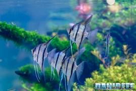 201705 aquascaping, itau, pterophyllum, scalari, zoomark 21 Copyright by DaniReef