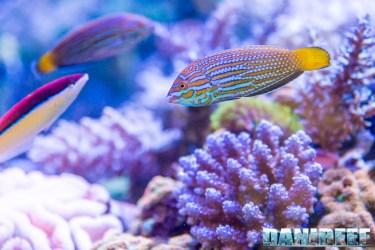 201805 dejong marinelife, interzoo, labride, pesci 16 Copyright by DaniReef