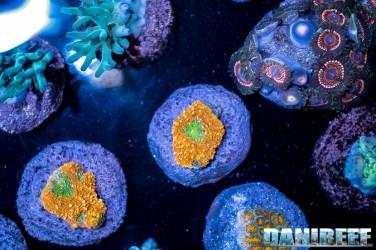 2018_09_Dynasty Corals, macna, talee_80