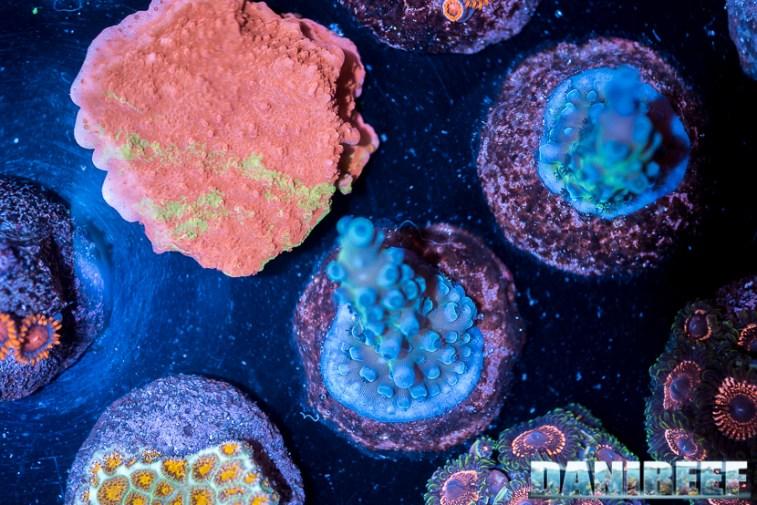 2018_09_Dynasty Corals, macna, talee_81