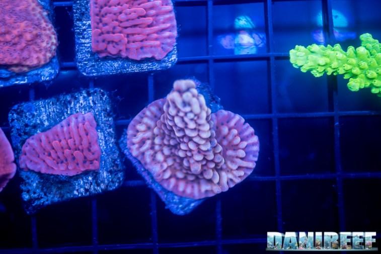 2018_09_macna, talee, Unique corals_70