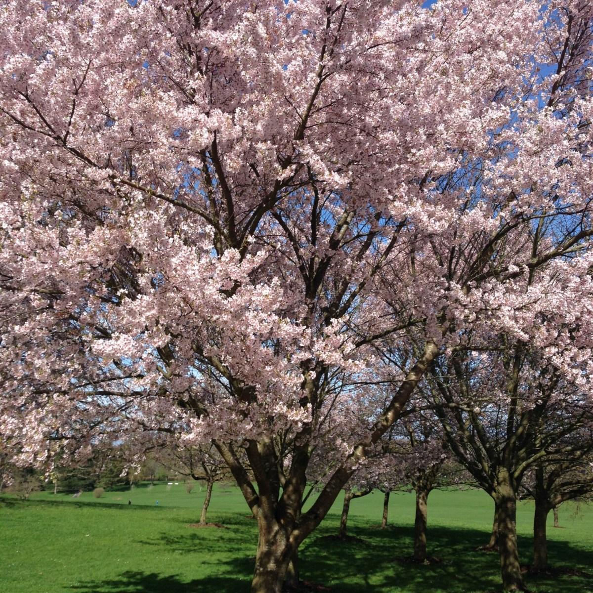 Sakura - se her hvornår kirsebærtræerne blomstrer i Kyoto