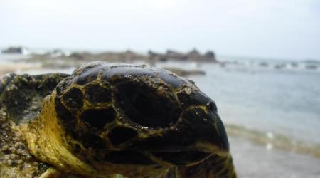 Juvenile Hawksbill sea turtle (Eretmochelys imbricata) | © Phoebe Edge