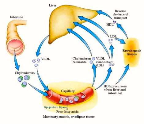 Figure_lipoproteins