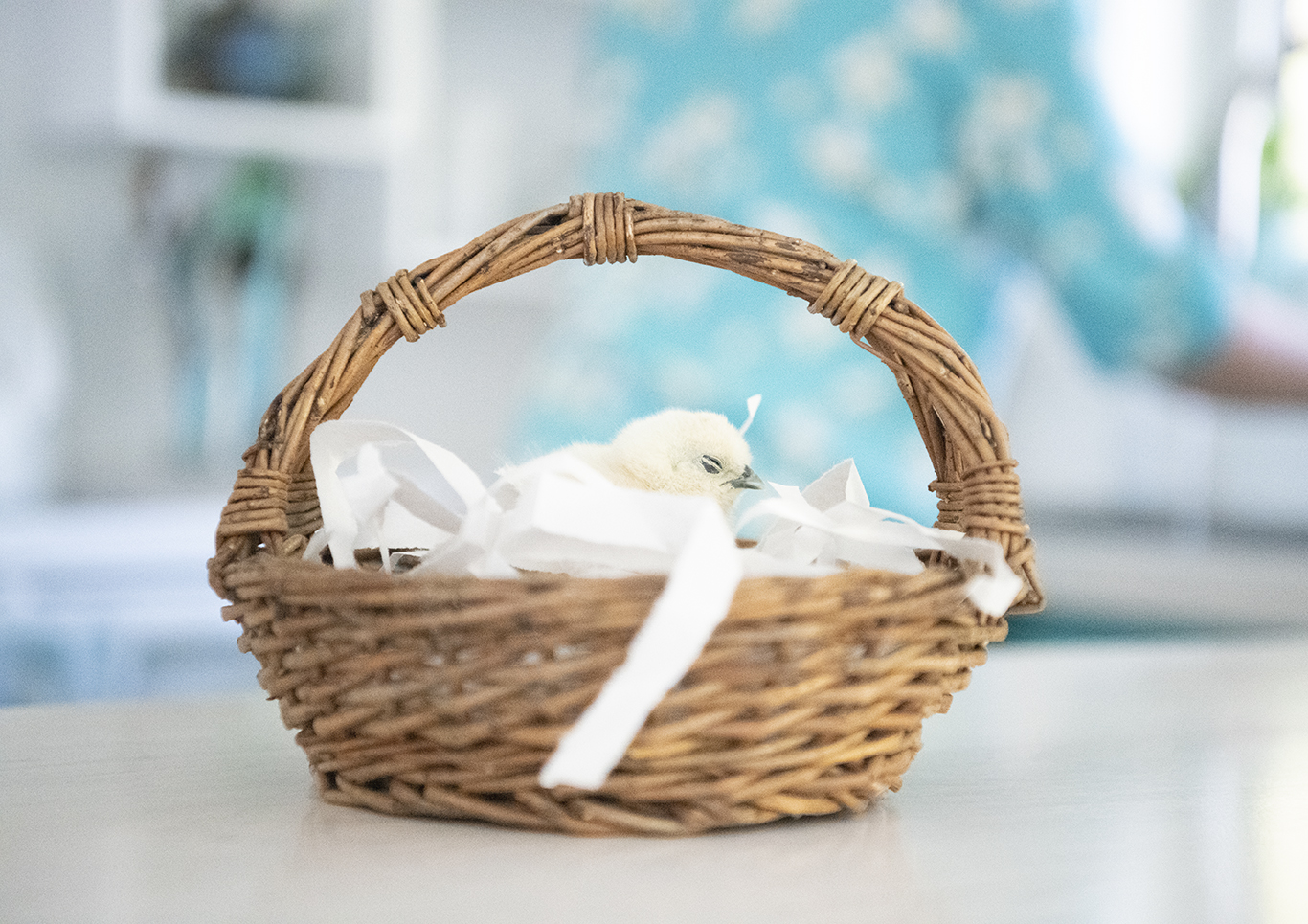 Silkie Chick in a Basket