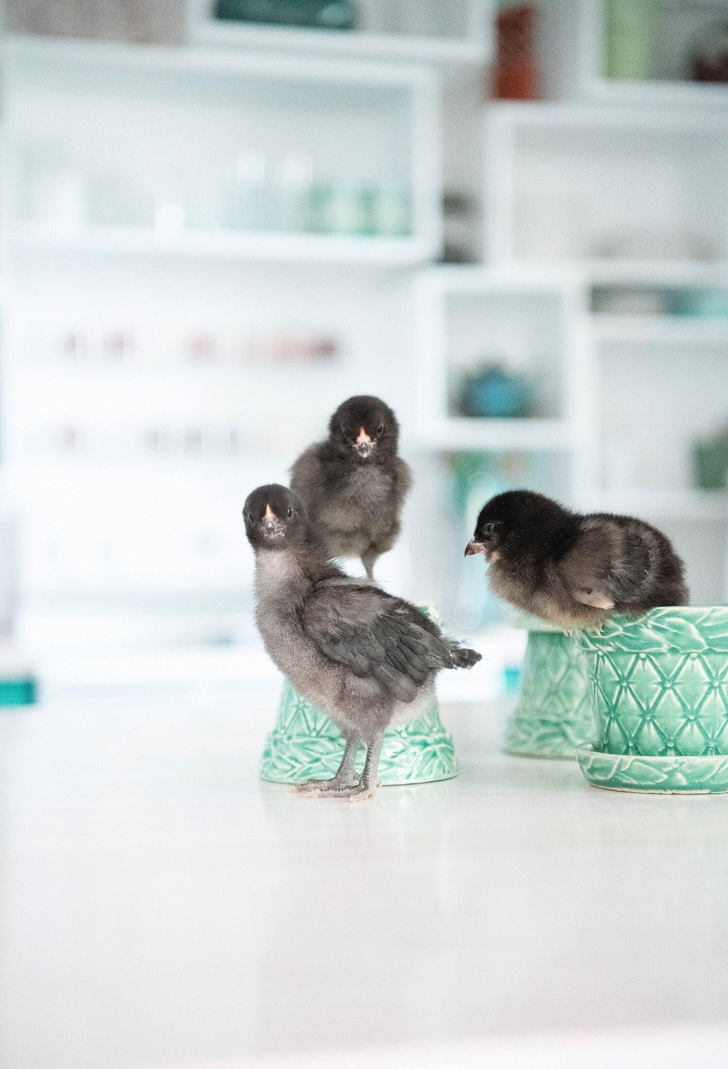 Black Ameraucana Chicks
