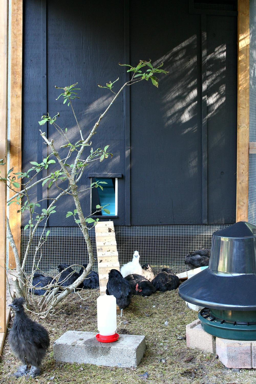 Inside a DIY Chicken Run