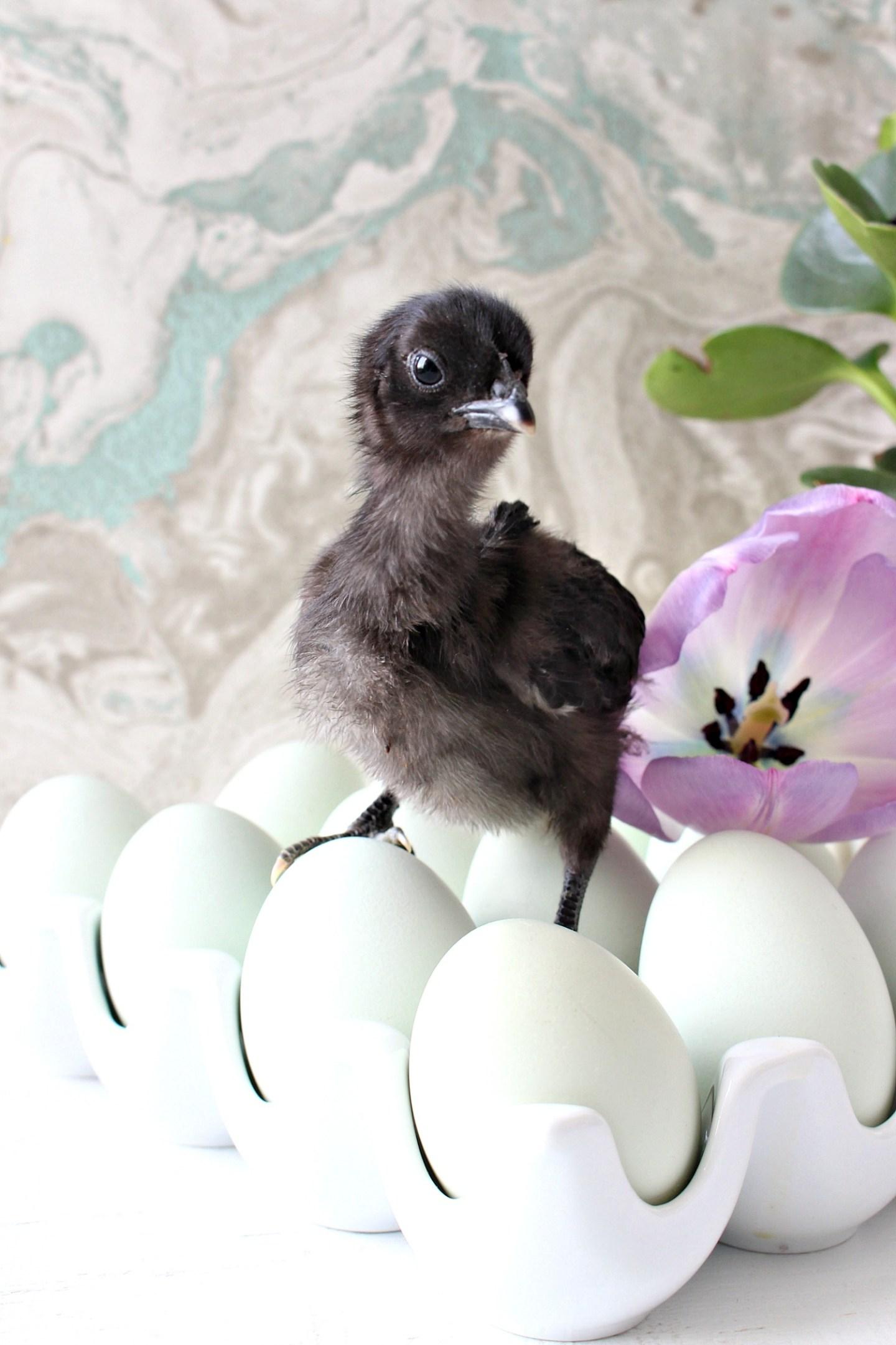 Swedish Blue Hen Chick Black