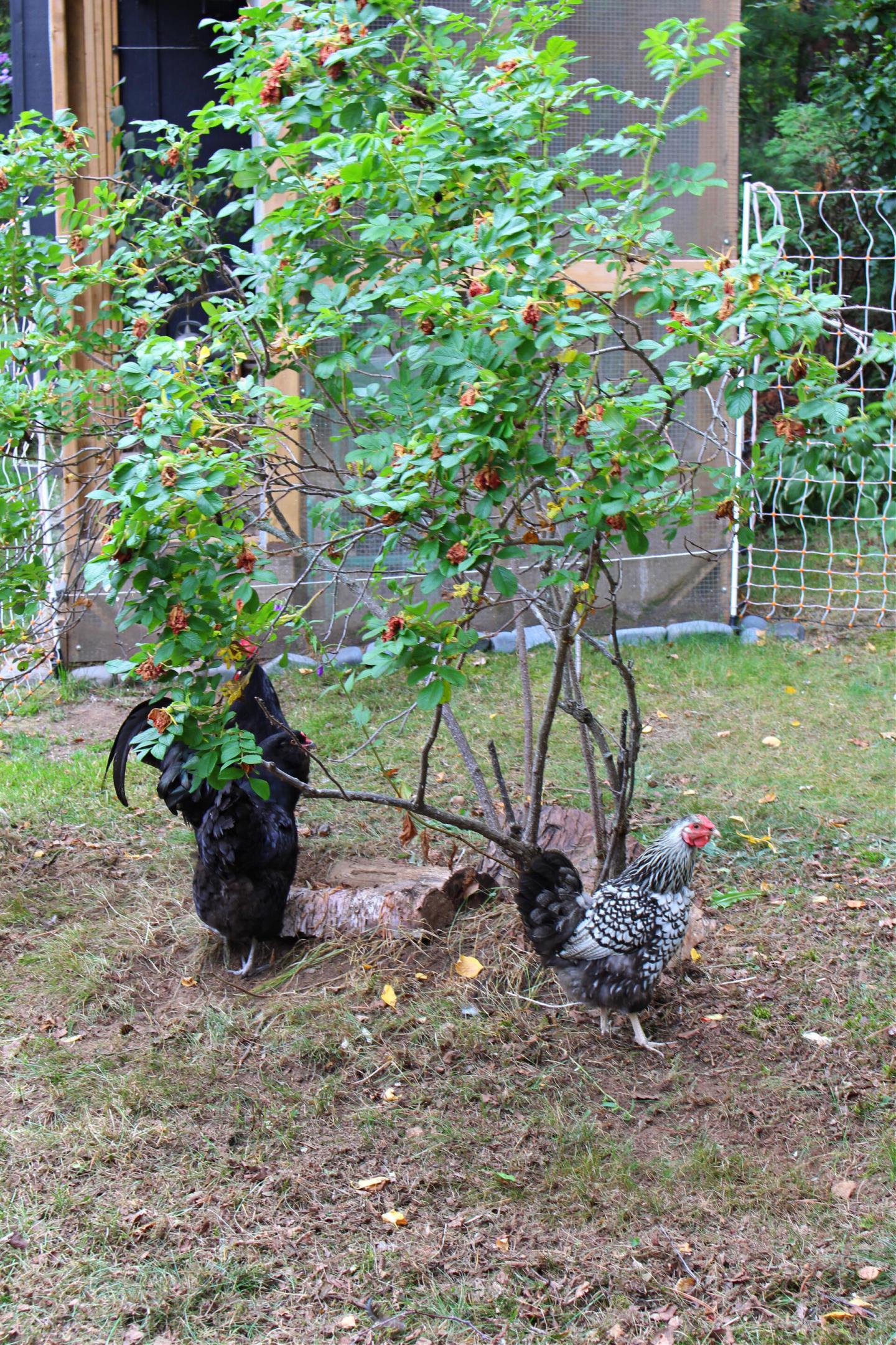 Chickens Under a Rose Bush