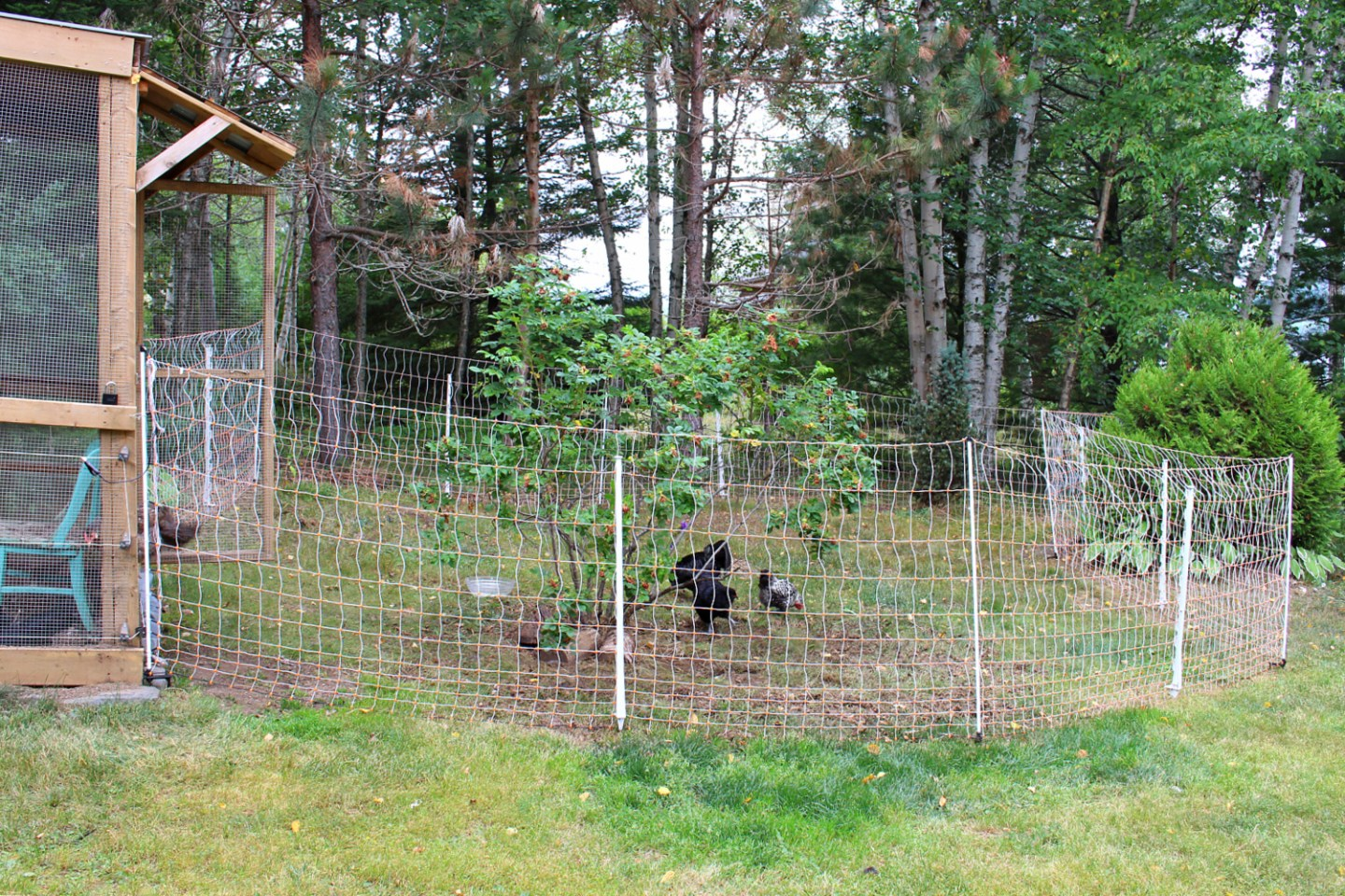 How to Keep Free Ranging Chickens Safe