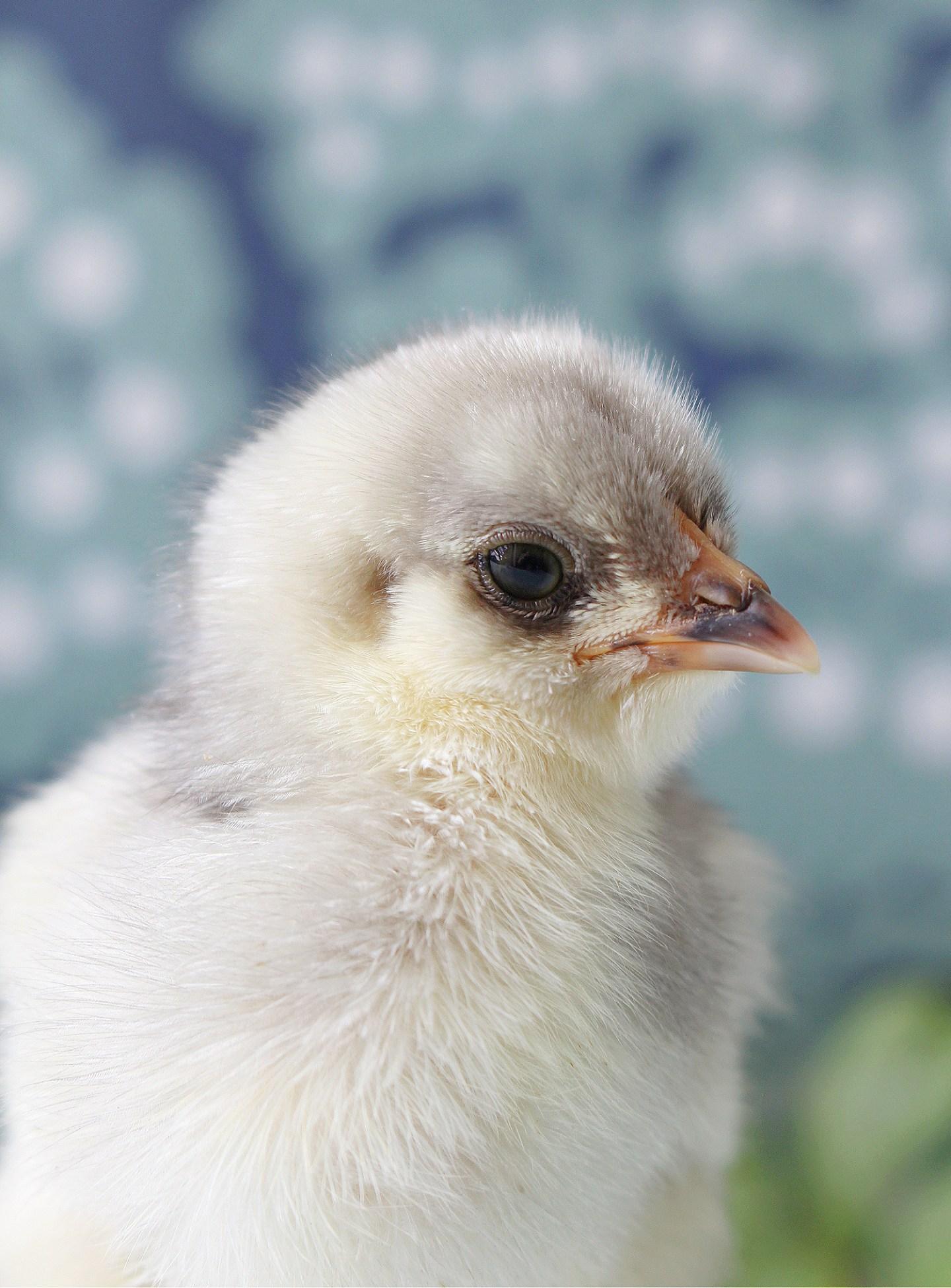 Ameraucana chick photos