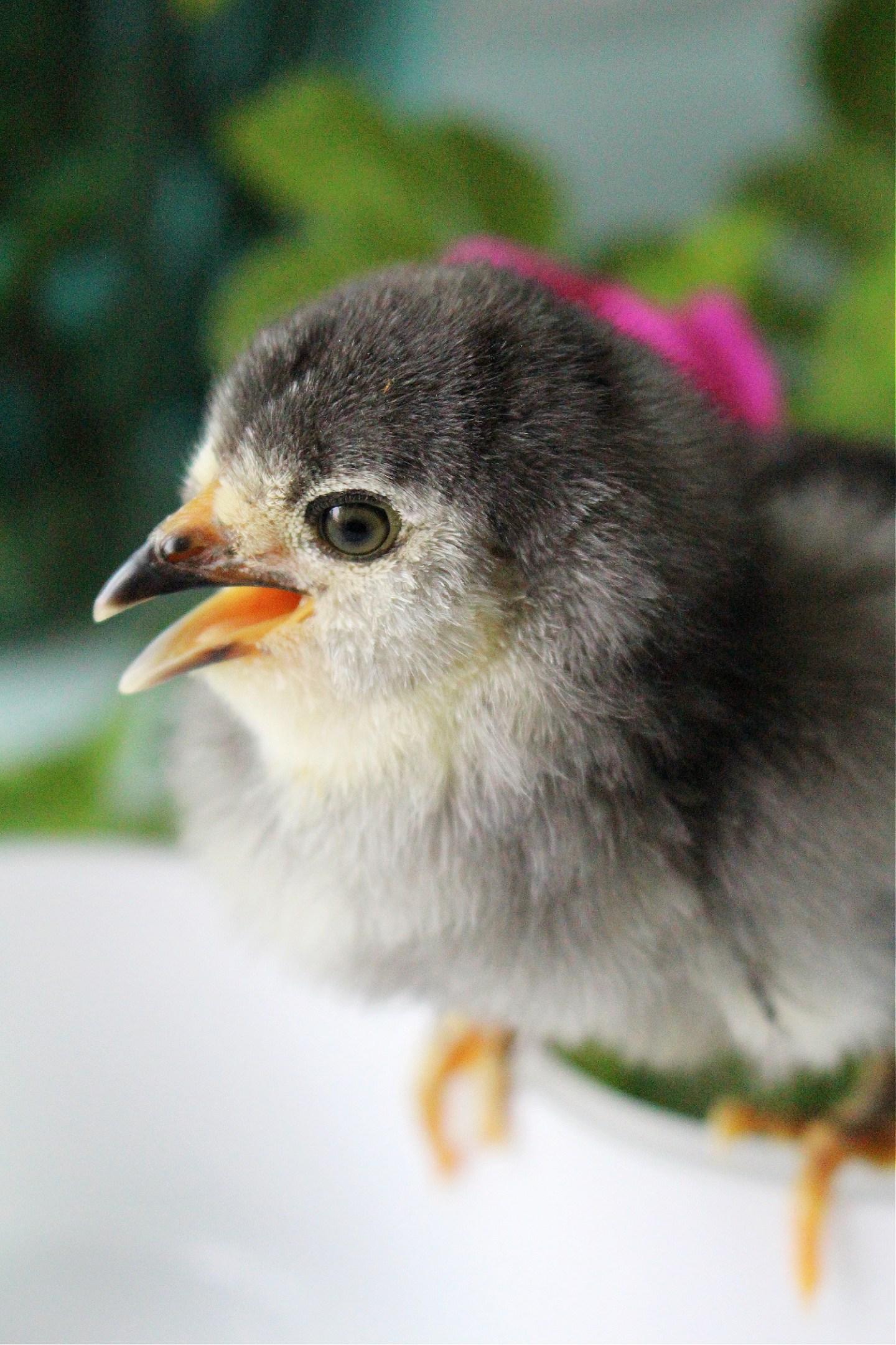 dark grey chick