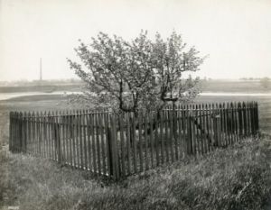 The Endecott Pear Tree in 1920