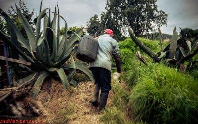 Pulque – La Bebida original de los Mexicanos