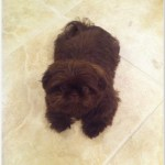 Cute Chocolate Shih Tzu Puppies Picture Collection Cats Dogs And Animal Pictures