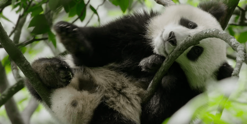 Disneynature - Born in China